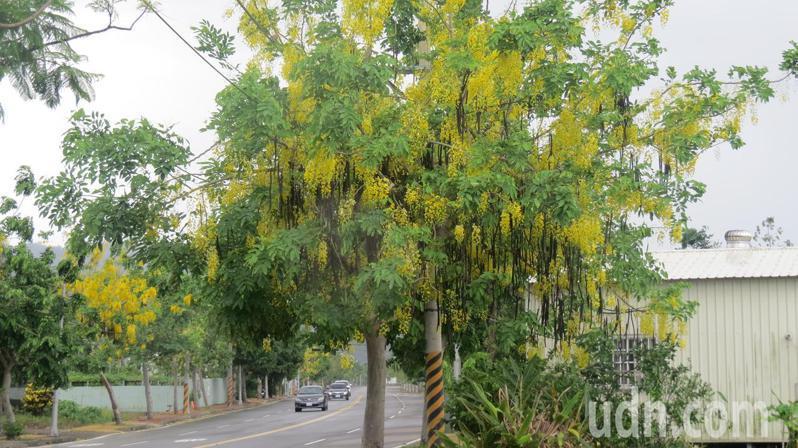 苗栗縣公館鄉台6線、119甲縣道沿途,種植許多阿勃勒樹,夏天金黃色花開成特色景觀。記者范榮達/攝影