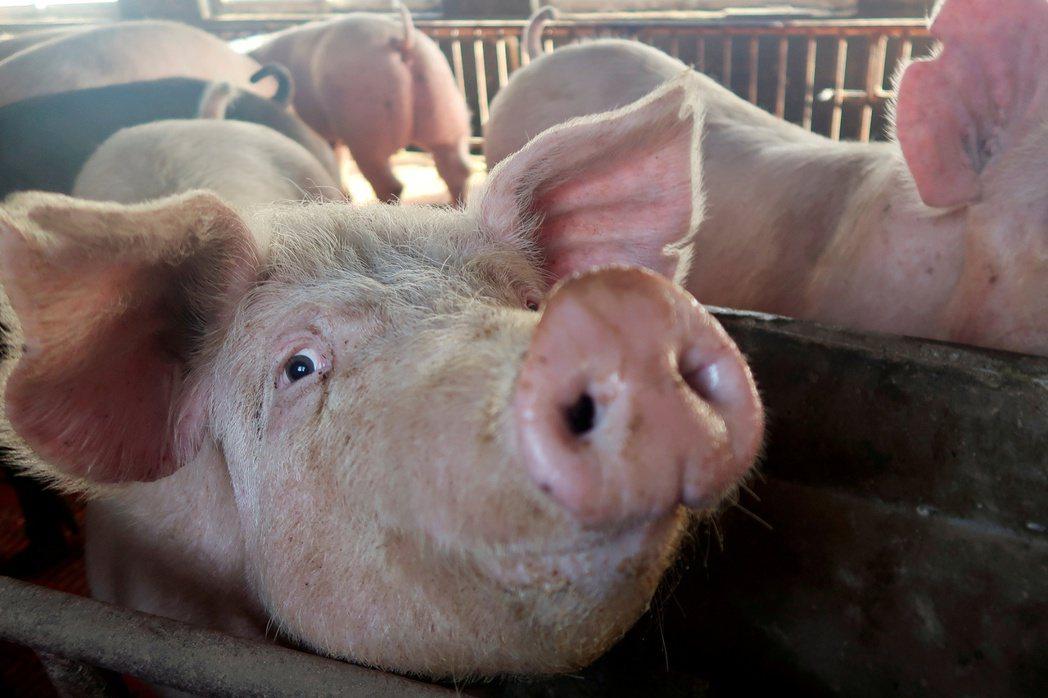 中國大陸豬肉供過於求,價格大跌。  路透
