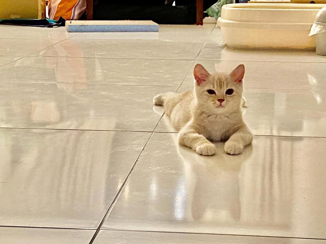 李英宏新收編的3.5個月大的愛貓橘皮。圖/三點水音樂工作室提供