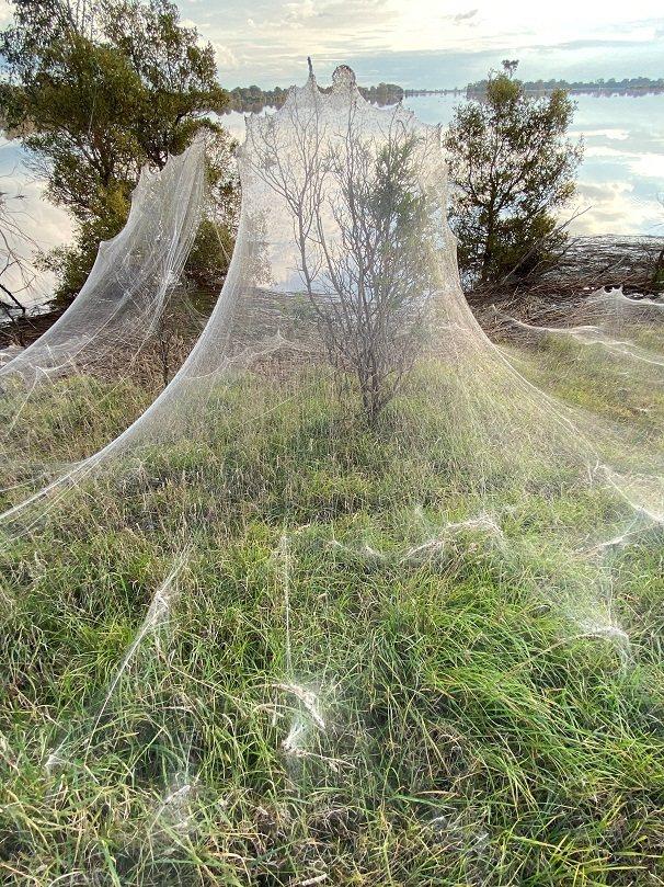 澳洲維多利亞省東部的吉普斯蘭地區最近發出逃避洪災的大批蜘蛛吐出無數蜘蛛絲,形成綿...