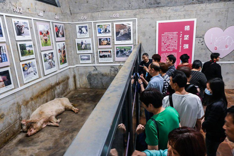 2021年5月10日,建川博物館內,「豬堅強」已沒有太多精力和遊客互動。(取材自澎湃新聞/人民視覺IC圖)