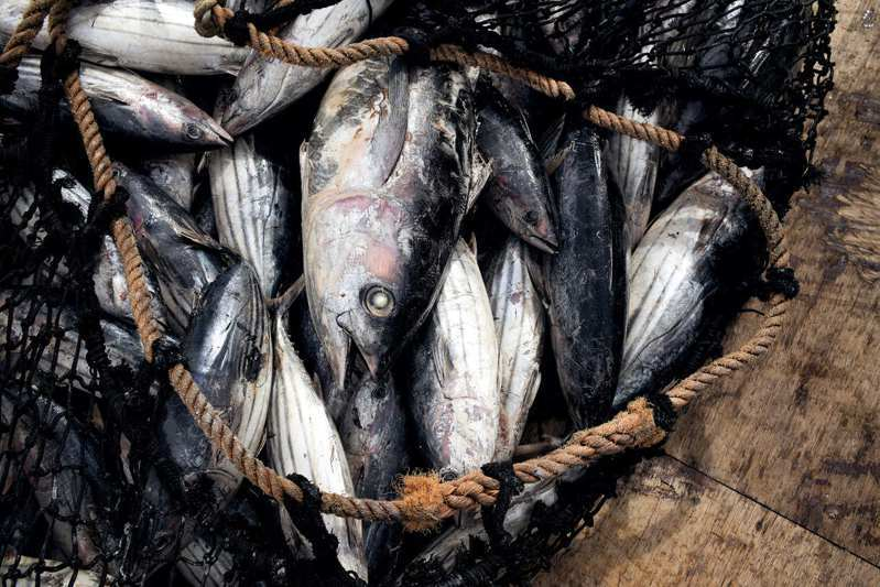 世界上的許多正鰹魚是捕撈自南太平洋海域,當地的8個島國1982年敲定「諾魯協定」,建立向美國、日本、台灣、中國大陸等漁業大國收費的機制。路透/HANS LUCAS