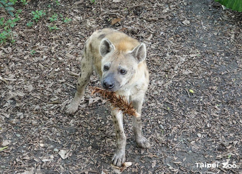 為了刺激動物本能與個體習性,動物園特別準備行豐玩具「沾有肉汁的雞毛」,提供斑點鬣狗們撲擊、拆解。圖/北市動物園提供