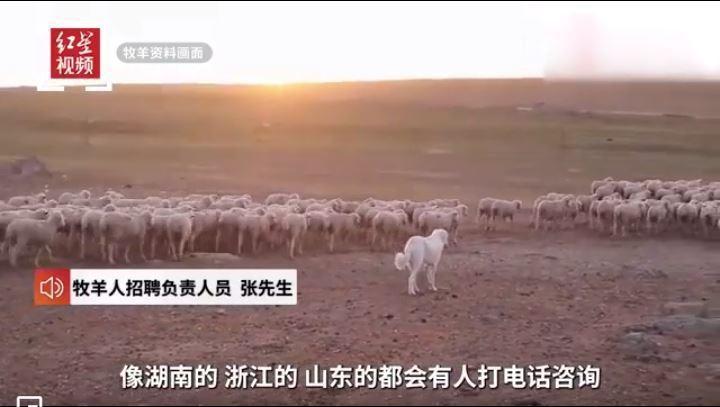 甘肅酒泉牧企招聘牧羊人,不少人懷抱田園生活的夢想,趨之若鶩。圖源:紅星新聞截視頻截圖