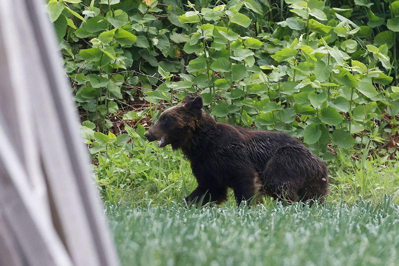 北海道札幌市有熊出沒,警方要求居民撤離。法新社