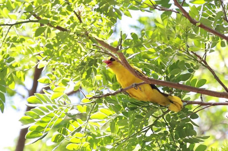 高雄大學因生態復育有成,校內成為二級保育鳥類「黃鸝」棲地,停課期間,寧靜的校園不時傳出嘹亮的鳥鳴。圖/校方提供