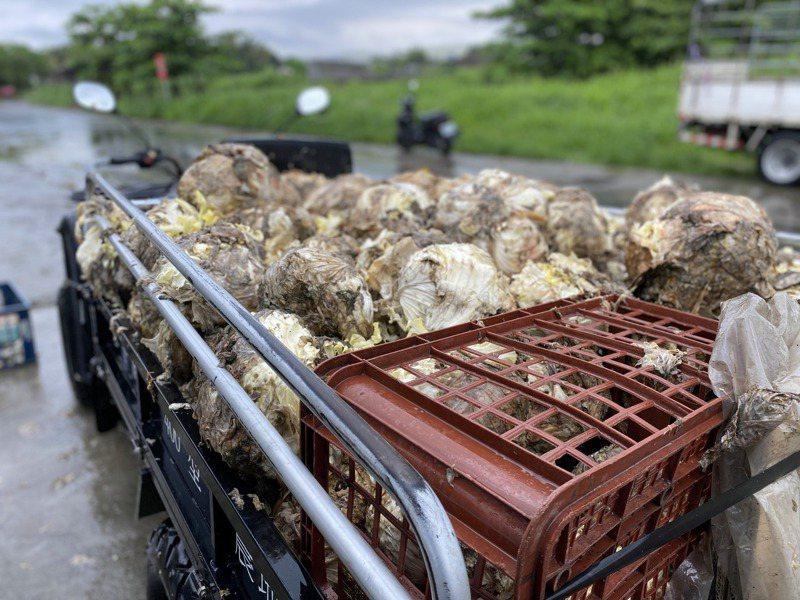 高雄梓官區農民將凍壞的高麗菜丟棄農田當肥料。記者陳弘逸/攝影
