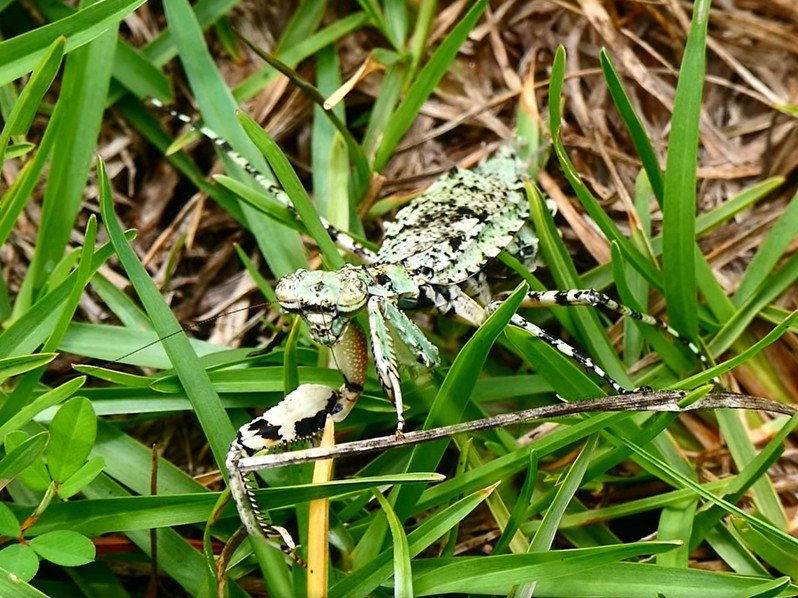 奧萬大休園,罕見昆蟲「樹皮螳螂」不僅在白天現身,還大膽在草地上散步。圖/奧萬大森林遊樂區提供