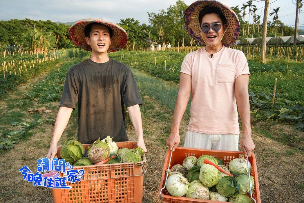 主持人王傳一與來賓石知田(左)協力採收高麗菜。圖/東森超視提供