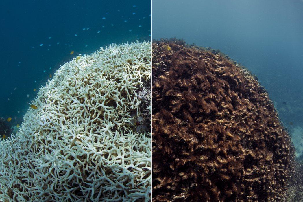 圖為2016年,珊瑚礁白化(左)和死亡(右)的對比圖。 圖/美聯社