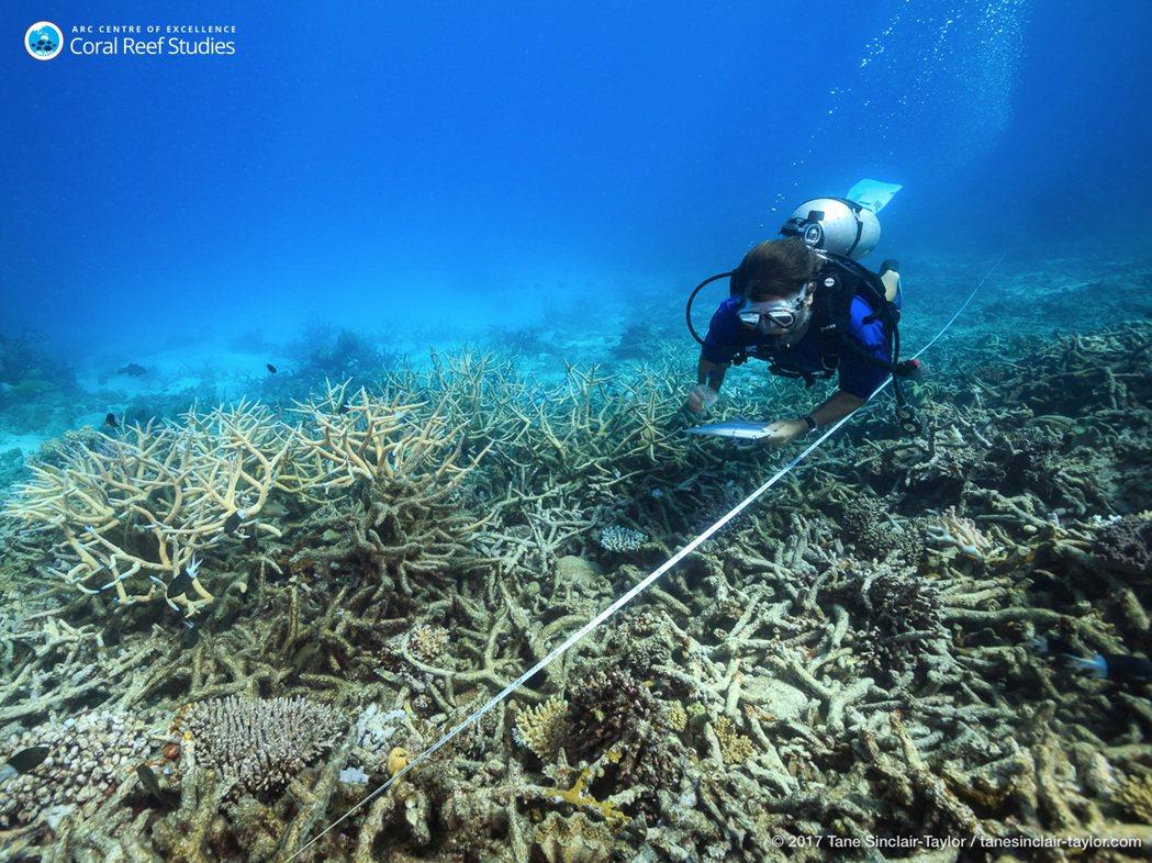 圖為2016年一位科學家正在測量白化後的珊瑚礁。 圖/美聯社