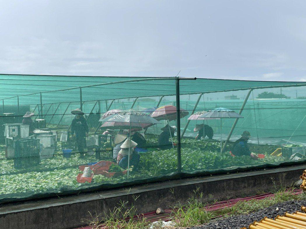 雙北的果菜批發市場,與產地的西螺果菜市場,是生命共同體,同一個生活圈,圖為農民忙...