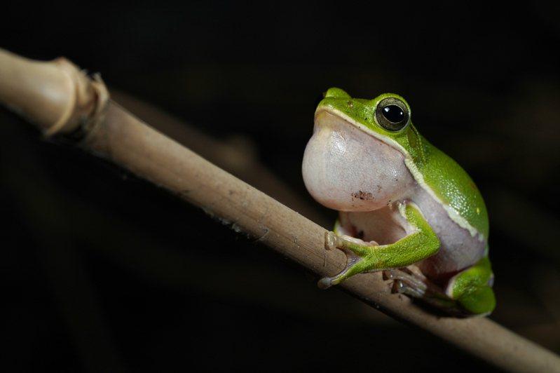 二級保育類臺灣特有種諸羅樹蛙分布在平原農村的竹林、果園或雜木林中,5到9月繁殖期,會在地表低窪積水處周圍的落葉底下產卵。圖/彭楨儒提供