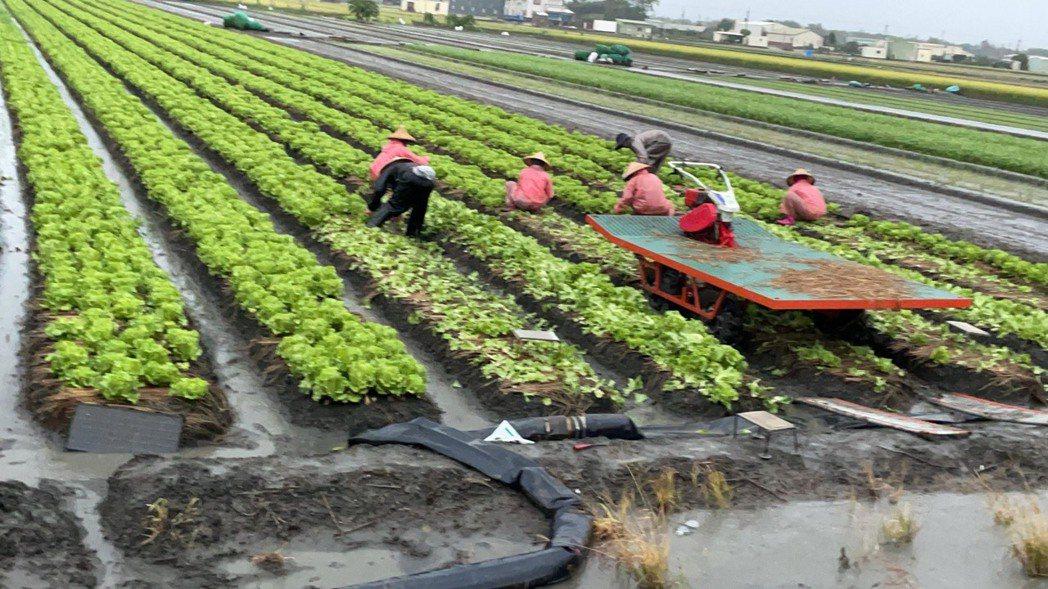中南部昨晚開始下大雨,農民冒雨採收中。圖/農民提供