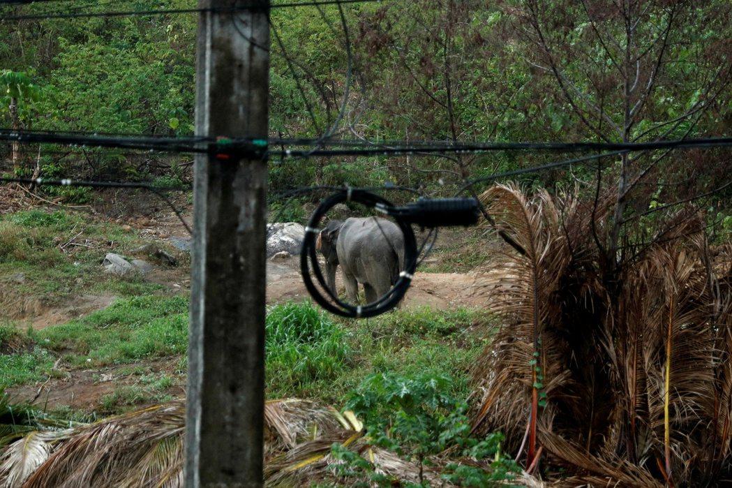 儘管泰國約一半的大象棲息地被認為適合長期讓大象居住,但依然受到農業耕地和地方發展...