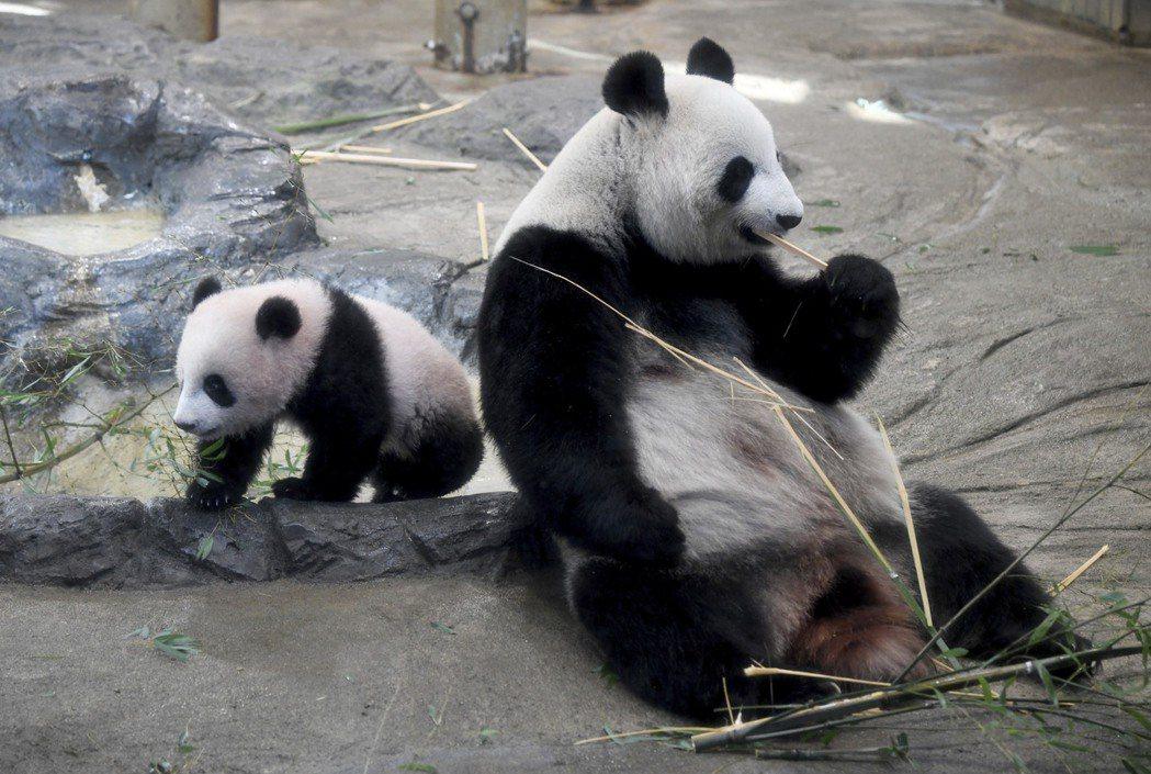 上野動物園母貓熊真真(右)與女兒香香(左)在2017年12月的檔案照。(美聯社)