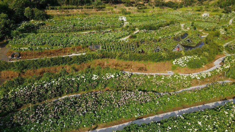 高家繡球花田少了人氣,繡球花園仍顯得高雅美麗。記者李政龍/攝影