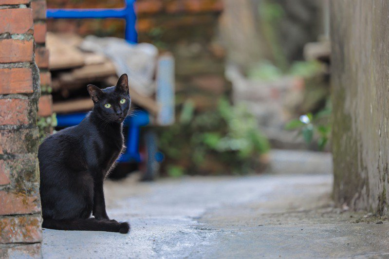 九份山城少了人聲,貓咪更閒適。記者李政龍/攝影