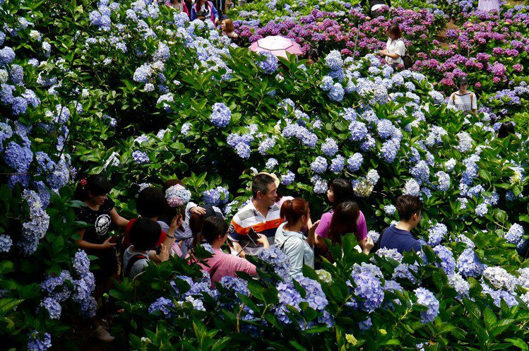 高家繡球花田-竹子湖水車寮第一園區於花期間熱鬧的拍攝人潮。圖/CC BY 卡娃思...