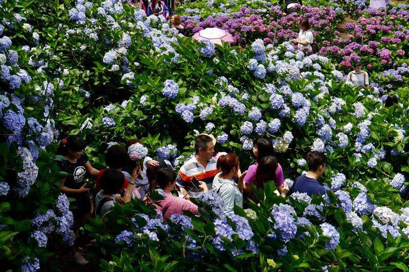 高家繡球花田-竹子湖水車寮第一園區於花期間熱鬧的拍攝人潮。圖/CC BY 卡娃思授權