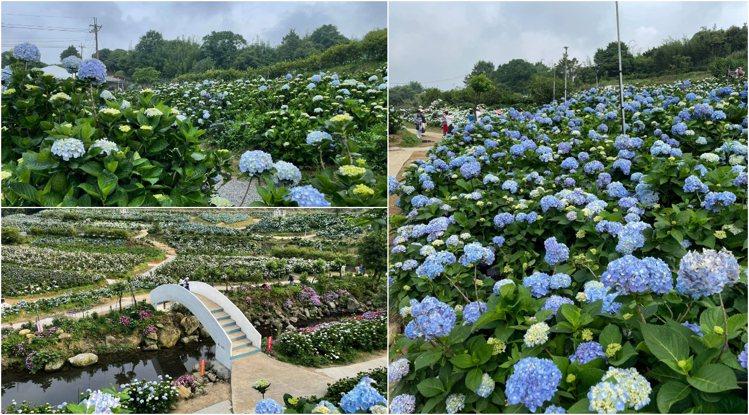 高家繡球花田-萬里第三園區於5月中的盛開花況。圖/擷取自高家繡球花田粉絲專頁