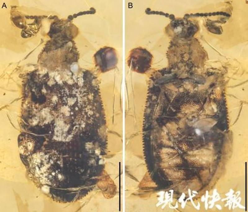 甲蟲的整體形態。圖/現代快報