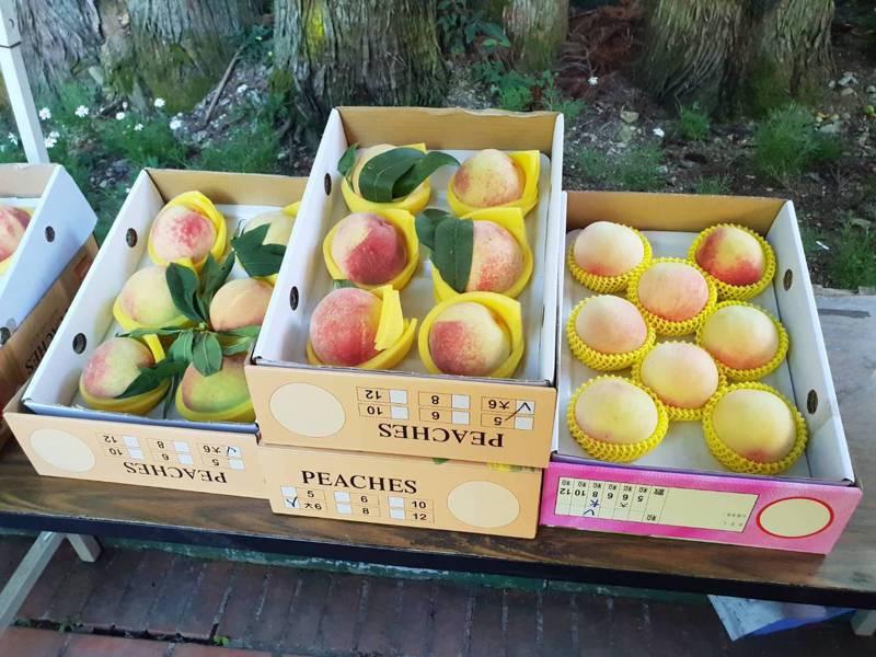 武陵農場推出全國首創的水蜜桃身份證,果實大又多汁。圖/武陵農場提供