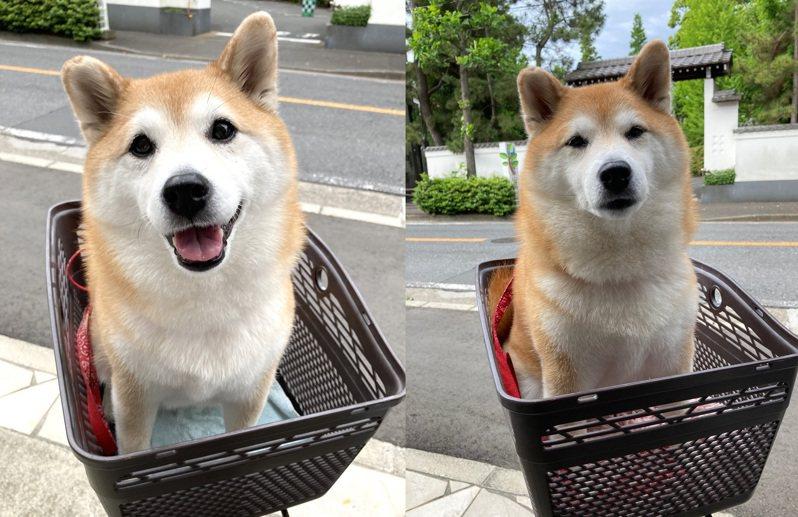 一位日本網友的柴柴以為主人要帶他去公園玩,露出相當興奮的表情(圖左),沒想到結果卻是一趟洗澡和注射的旅程,讓他露出生無可戀的神情。圖擷取自twitter
