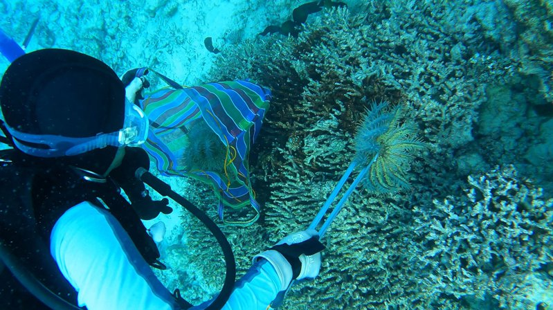中研院研究團隊下水移除棘冠海星,避免衝擊珊瑚礁生態。圖/鄭明修提供