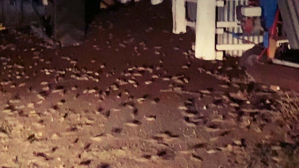 在農場裡亂竄的百萬鼠群。 圖/法新社