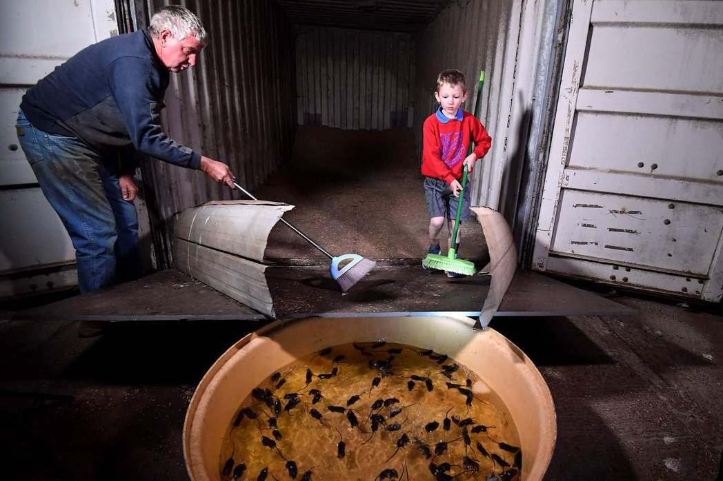 農村的自製陷阱,用糧食貨櫃吸引老鼠「請君入甕」,再用人力把鼠群掃到水盆裡成群淹死...