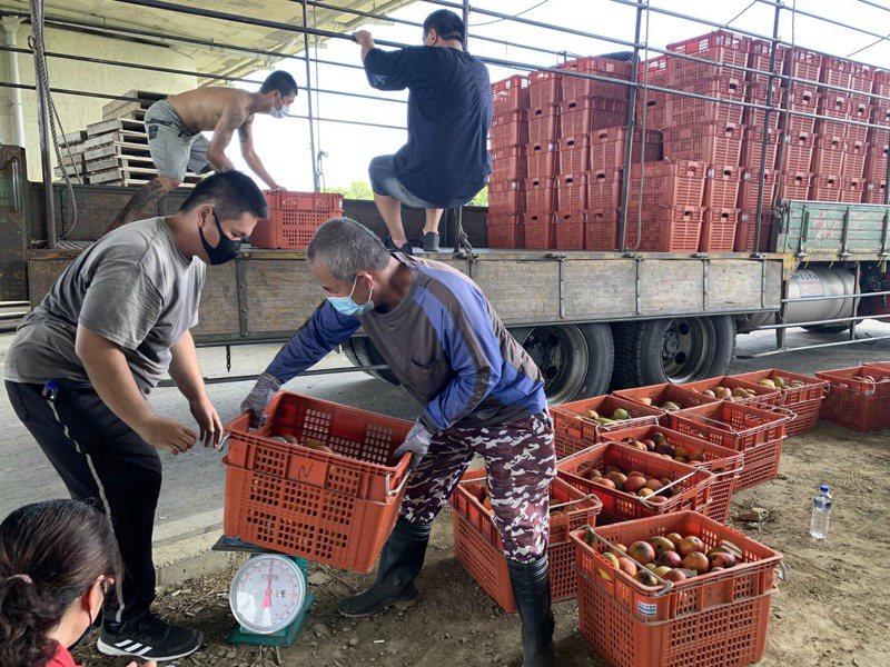 台南官田區農會今天起在84快速道路渡仔頭橋下展開次級芒果收購。記得吳淑玲/攝影