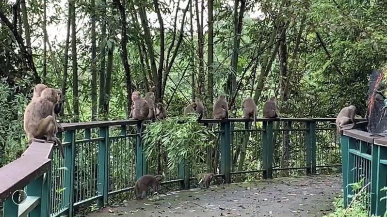 少了遊客的日月潭,潭邊步道近來被民眾發現有台灣獼猴全家逛街的景象。圖/讀者提供