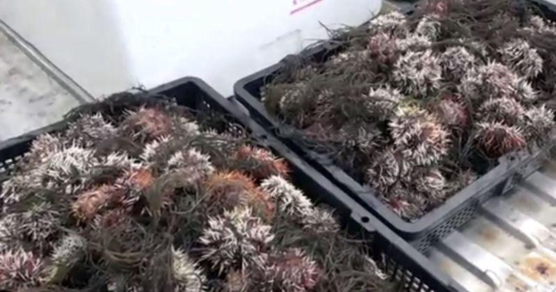 澎湖馬糞海膽今天首日開採,但數量銳減。圖/讀者提供