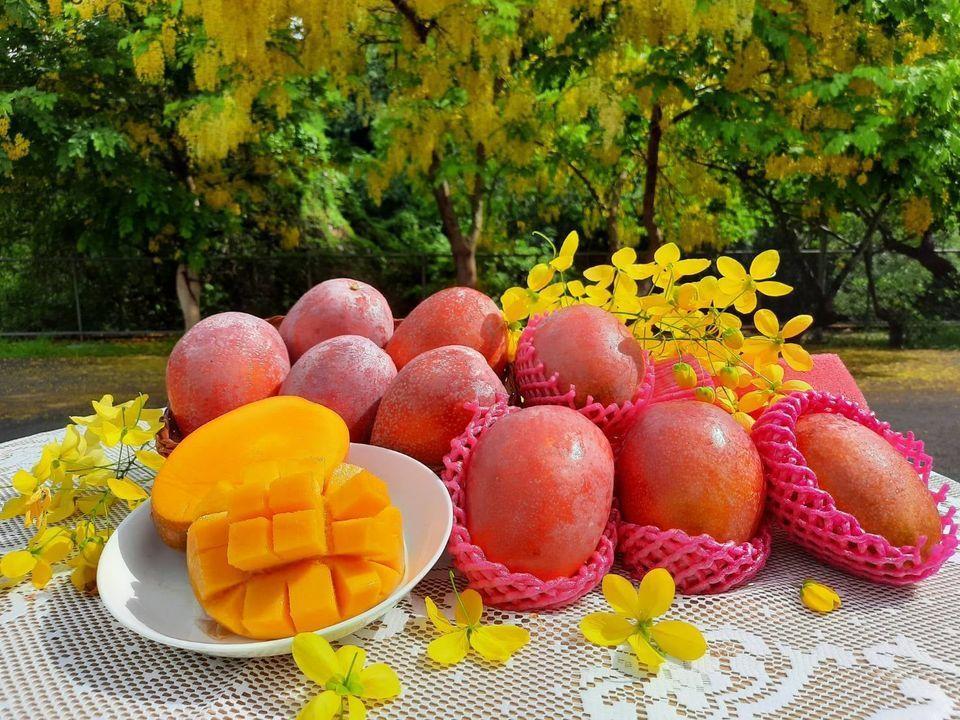 愛文是台灣最受歡迎的芒果品種。 圖/台南區農改場提供