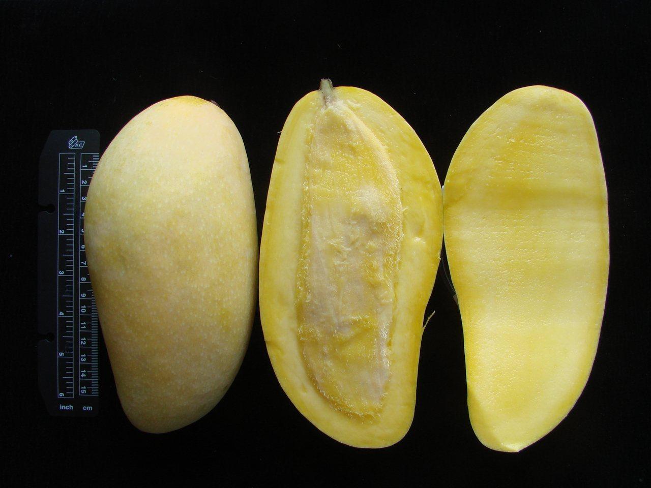 金煌芒果果實呈象牙型且大,外皮為黃色。 圖/台南區農改場提供