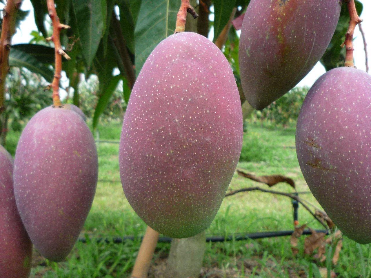 結合金煌和愛文特色的玉文。 圖/台南區農改場提供