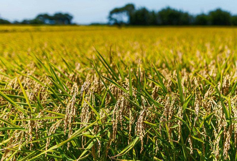 一期稻作目前進入抽穗、結穗期,情況良好。圖/桃園市政府新聞處提供