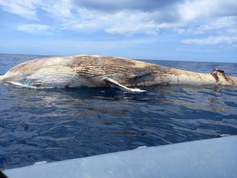 泰國暹羅灣國家公園接獲漁民通報,指在巴蜀府邦沙潘內縣塔魯島(Koh Talu Island)附近海域發現布氏鯨屍體,屍身長達10公尺。圖/取自ประชาสัมพันธ์ กรมอุทยานแห่งชาติ สัตว์ป่า และพันธุ์พืช