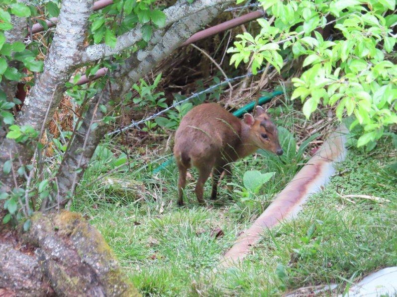 阿里山森林遊樂區小笠原山觀景台附近,三級警戒後有小山羌出來覓食。圖/嘉義林管處提供