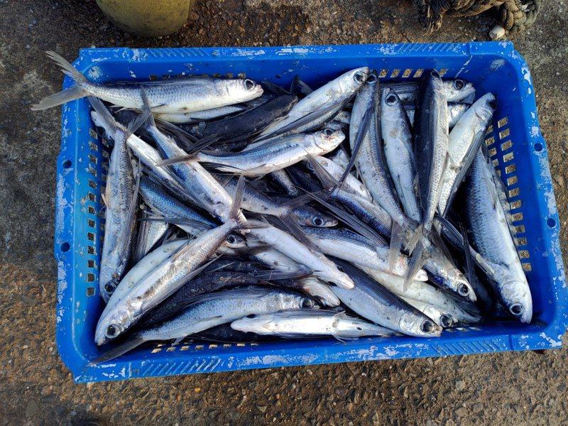 捕獲後的飛魚。圖/新北市漁業處提供