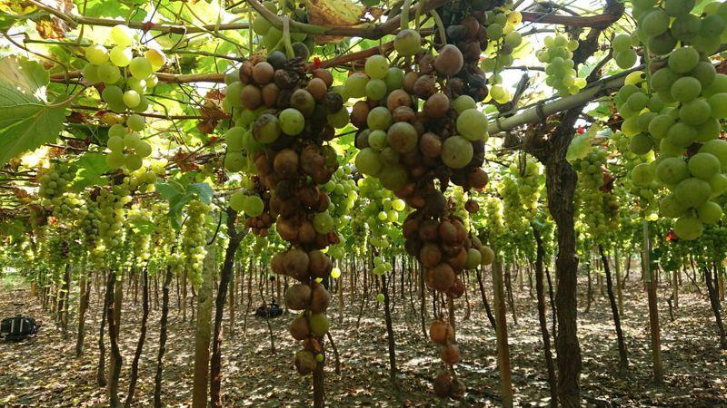釀酒葡萄和鮮食葡萄的生長周期不太一樣,今年梅雨遲到一個月,讓釀酒葡萄嚴重水傷。記者簡慧珍/攝影