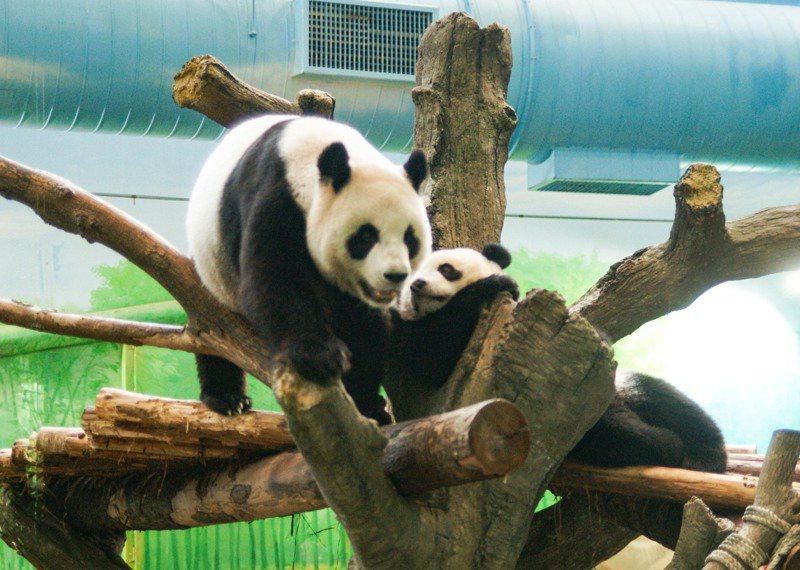 「圓圓」:「圓寶」來,我們一起祝「圓仔」姊姊生日快樂。圖/北市動物園提供