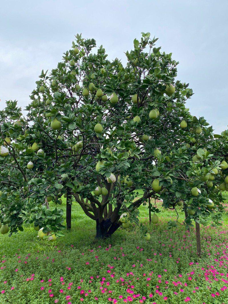 正值果實生長期的文旦,農業局建議以立支柱、固定果實及加強果園排水,以減少災損。圖/台南市政府農業局提供