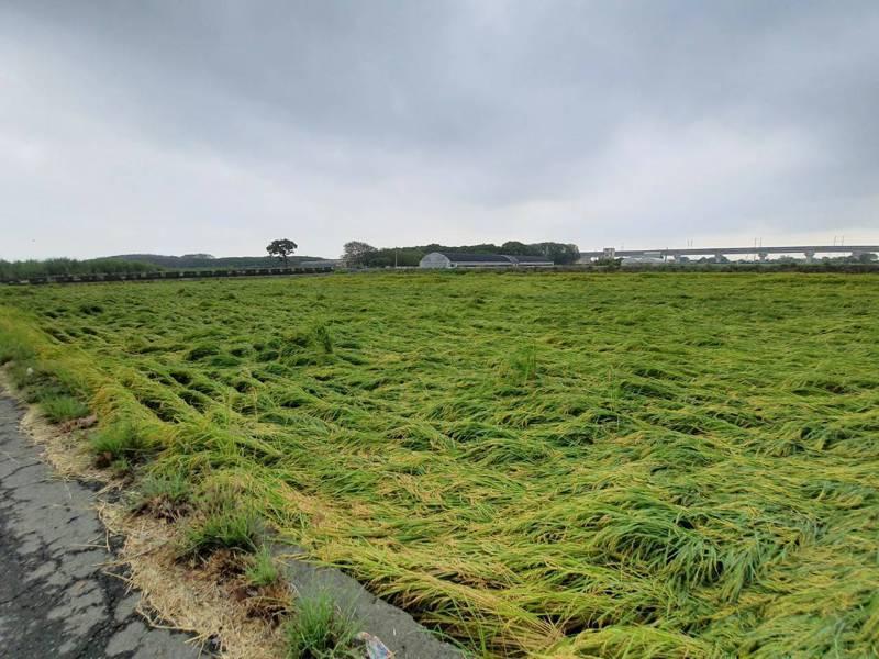 6月底中部地區連日豪雨,導致彰化部分稻作倒伏。圖/彰化縣政府提供