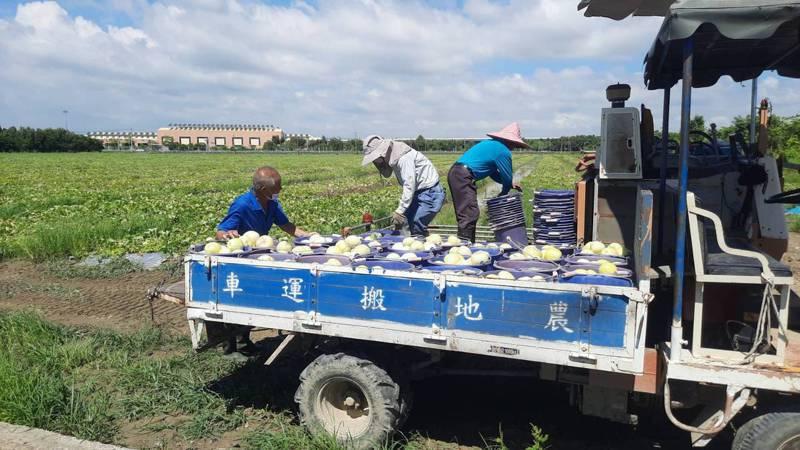 高雄連日大雨,瓜園泡水,橋頭區有香瓜農種5甲地僅能收2成。記者陳玫伶/攝影