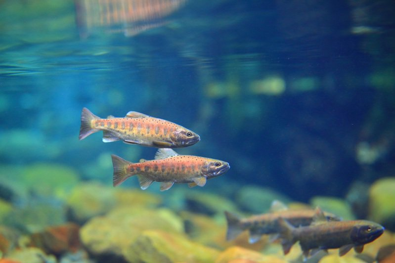 配對的成熟雌雄鮭魚。圖/雪霸管理處提供、吳誌堂拍攝