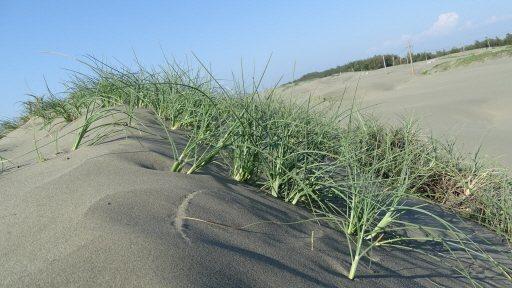 從覆蓋沙丘中冒出的雜草,展現堅韌生命力。 圖/謝進盛 攝影