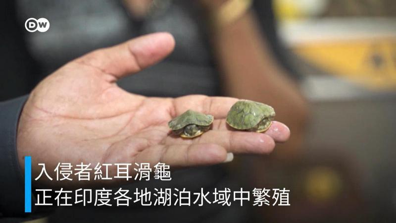 這種紅耳龜原產於北美洲,在印度是一種很流行的寵物。圖/德國之聲