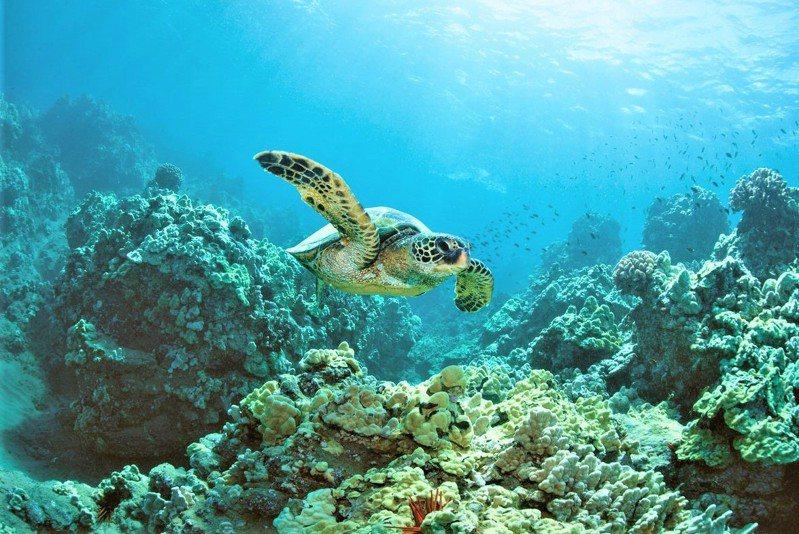 屏東離島小琉球是知名的海龜樂園,數量估計在300隻上下,主要是以海草和海藻主食的綠蠵龜。記者潘欣中/翻攝